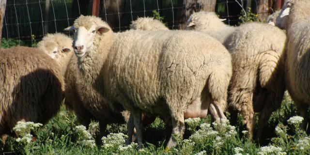 lana-espanola-grazalema