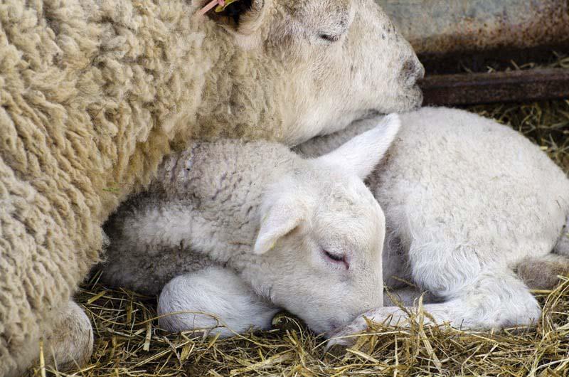 lana-espanola-oveja-merina-2