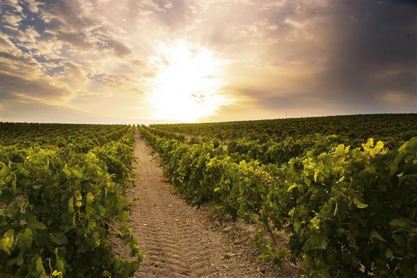 bodegas-pedro-domecq-viñedos